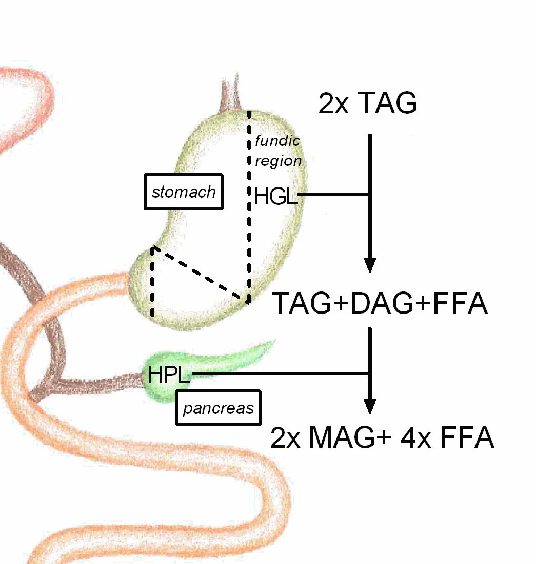 Digestion of lipids figure 2 shows the relative contribution of human gastric lipase hgl 10 30 and human pancreatic lipase hpl 70 90 to the overall lipid pooptronica Gallery